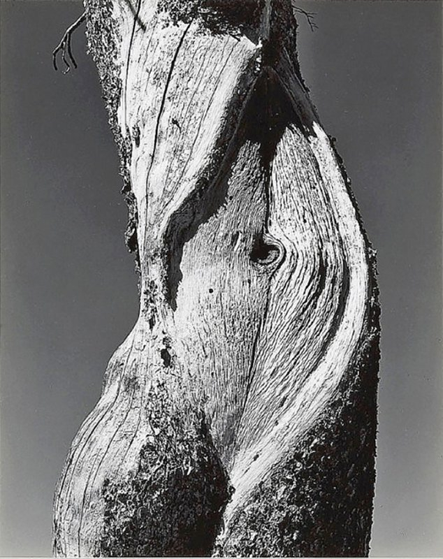 +599 Edward Weston Pine, Lake Tenaya, Yosemite National Park  1937.jpg
