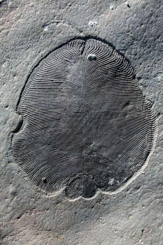 Dickinsonia  le plus ancien animal sur Terre  558 millions d'années.jpg